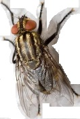 Adult Housefly